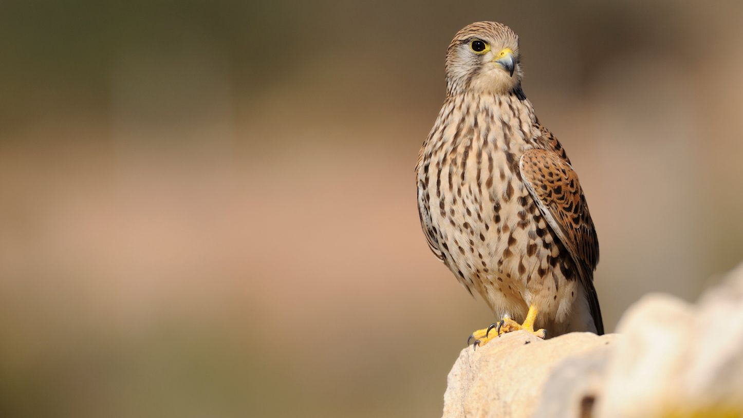 Kestrel on a Fence Post - Photo by Scottish Natural Heritage