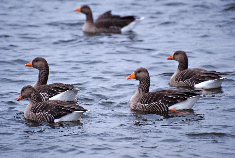 Graylag geese - Hogganfield