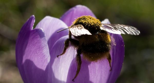Bumblebee ID Day